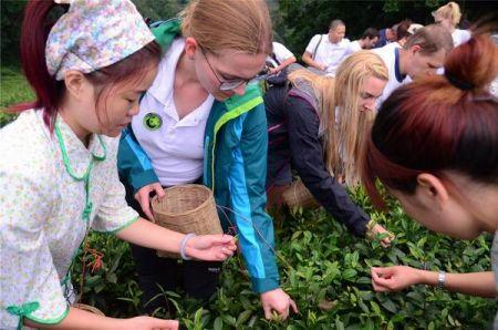 .熊猫粉丝们聆听了藏茶文化继承人讲述藏茶的文化背景、历史发展、制作方法,并在蒙顶山亲自参与了采摘茶叶的过程